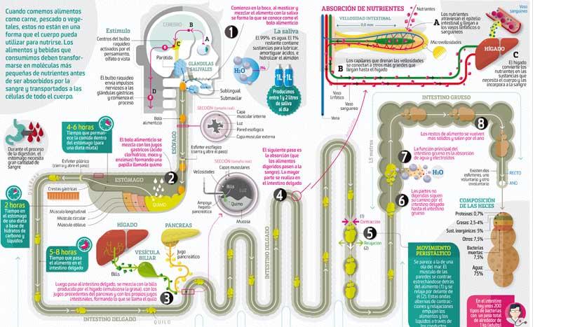 Así funciona: el proceso digestivo