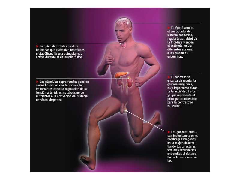 El sistema hormonal del cuerpo del deportista