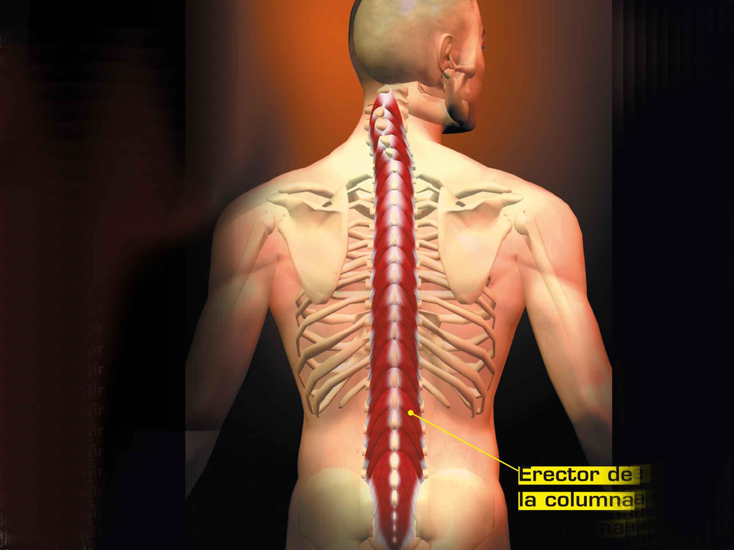 Musculatura erectora de la columna