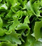 Alimentos deportivos: Lechuga, sedante natural