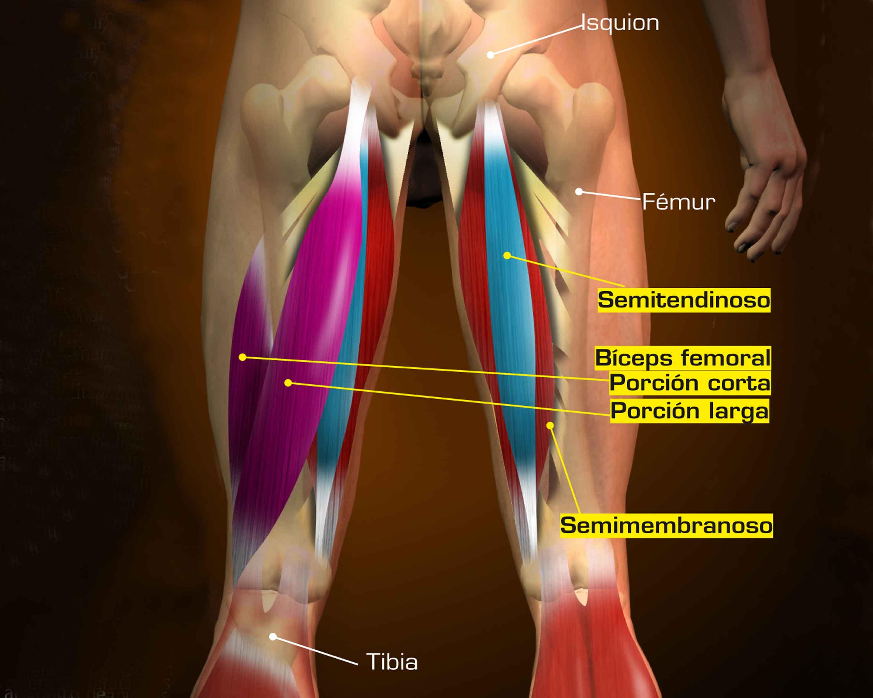 Perfecto Diagrama De Músculos Isquiotibiales Regalo - Anatomía de ...
