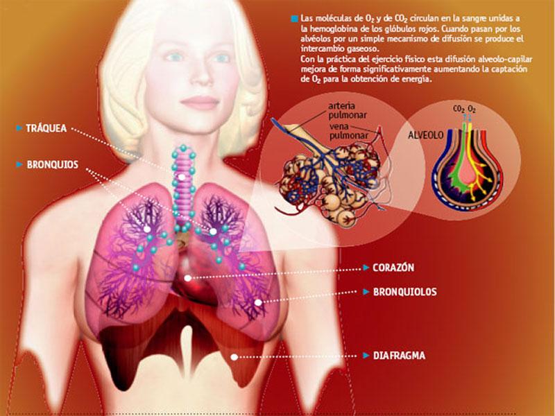 El sistema respiratorio del cuerpo del deportista