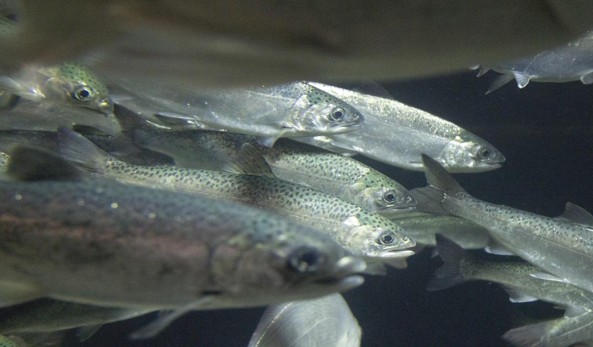 El pescado, ¿salvaje o de piscifactoría?