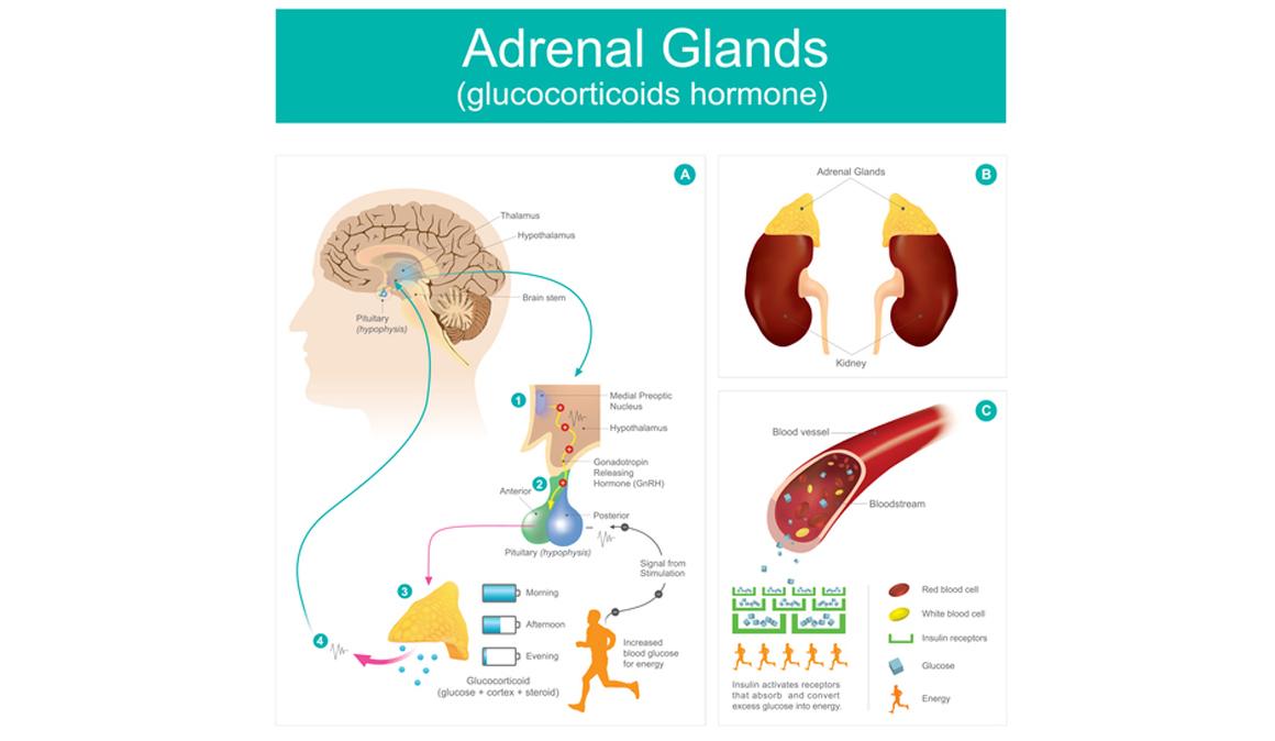 ¿Qué es la Insuficiencia suprarrenal? ¿Existe la Fatiga Adrenal?