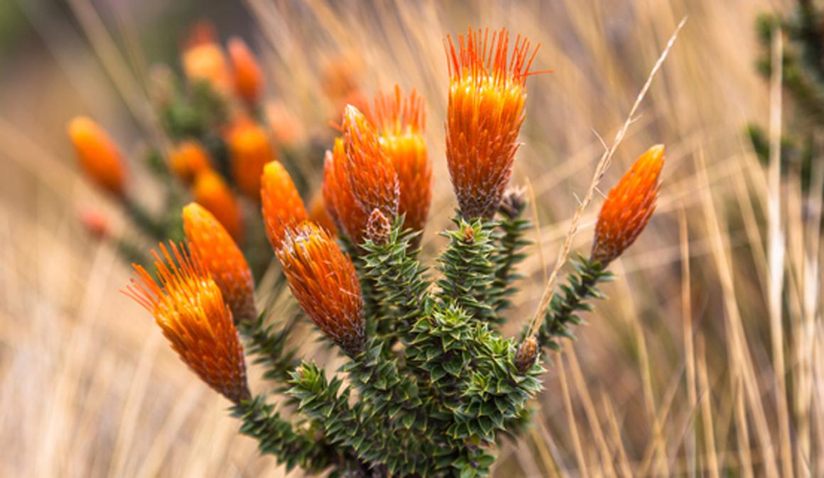 La chuquiragua o flor de los Andes te ayuda a protegerte de los radicales libres