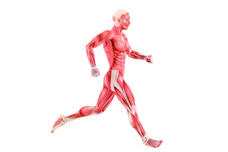 Así funcionan tus músculos: el secreto antilesiones