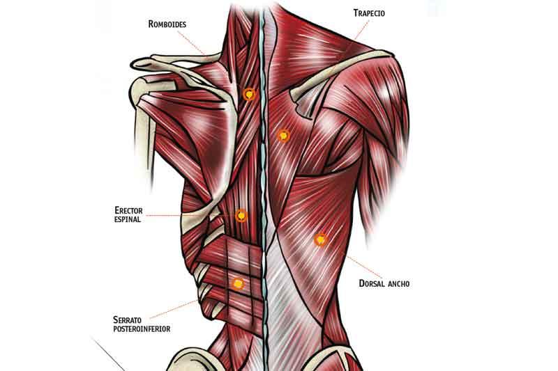 Estructuras articulares: columna dorsal
