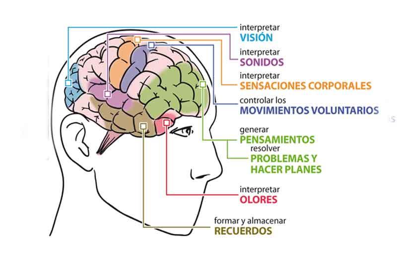 ¿Cómo funciona el cerebro?