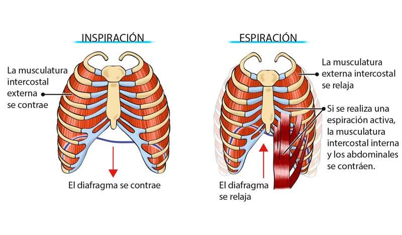 Image result for musculos de la respiracion