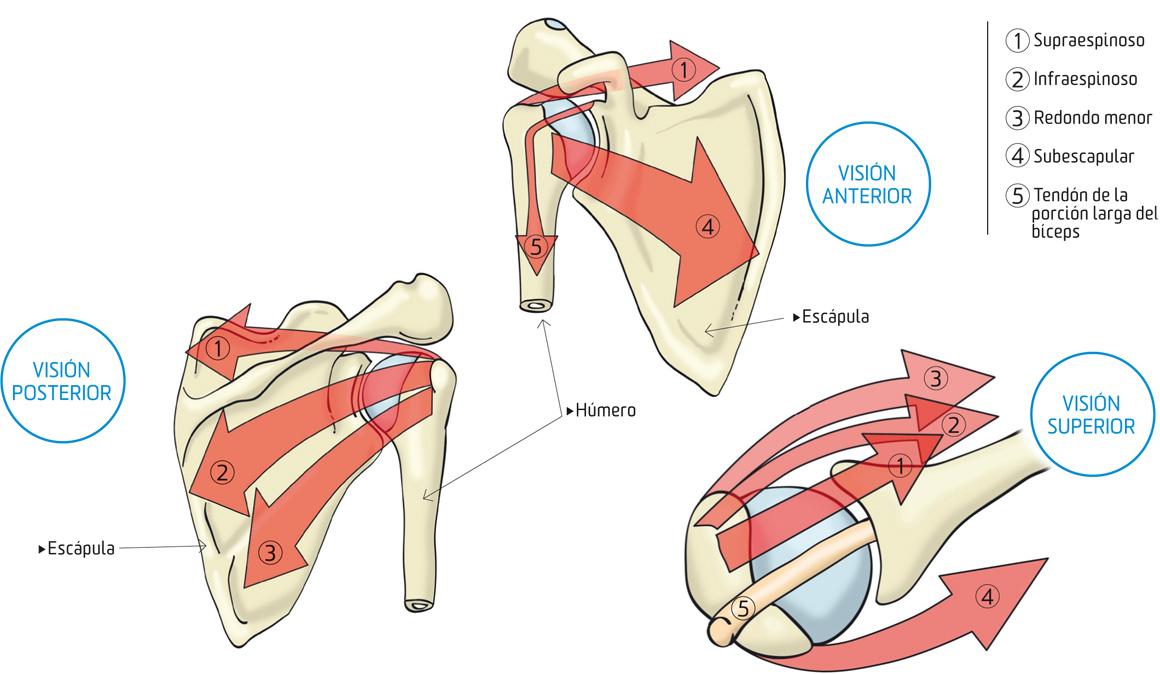 Hombros fuertes, estables y sin lesiones con estos ejercicios ...