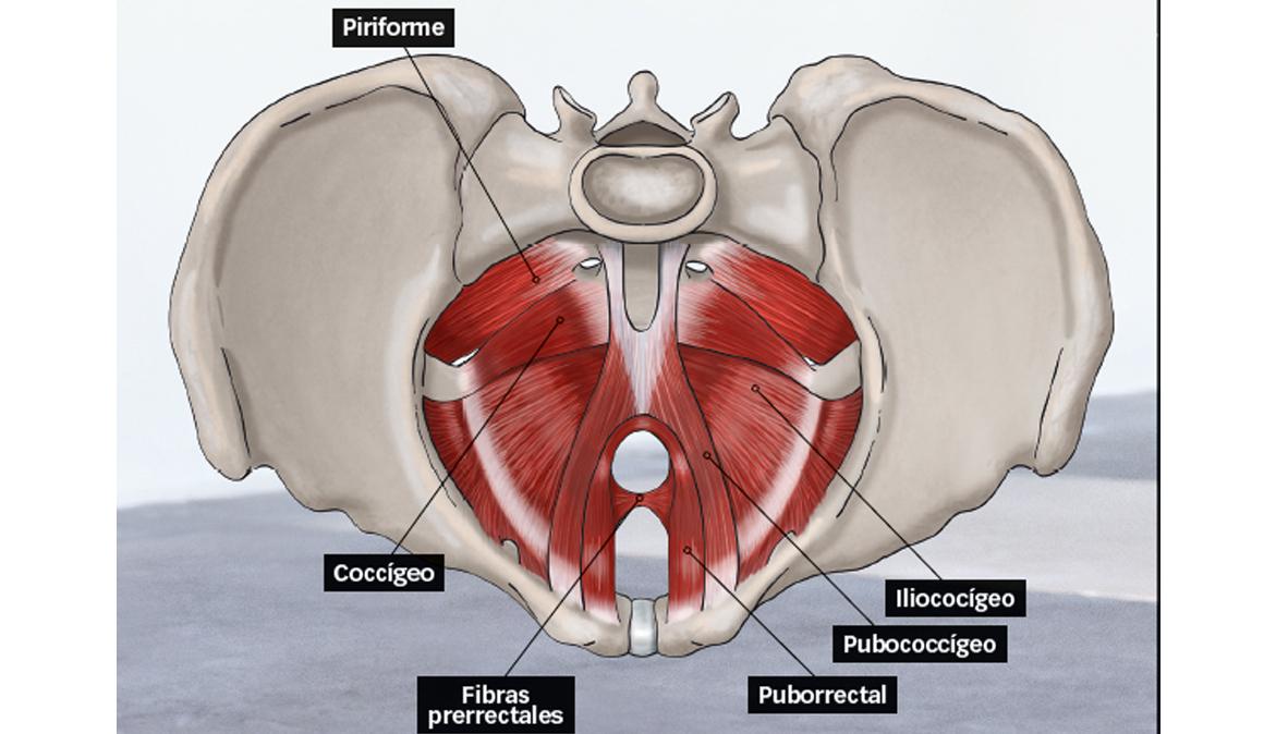 Vistoso Anatomía Del Suelo Pélvico Femenino Composición - Anatomía ...