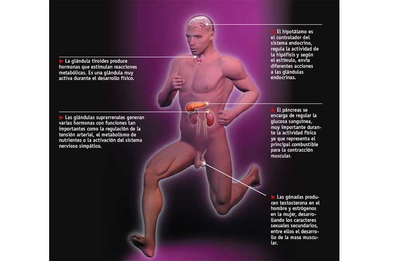 El sistema hormonal del cuerpo del deportista | Salud | Sportlife