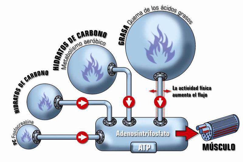 Reasearch en metabolismo catabolico