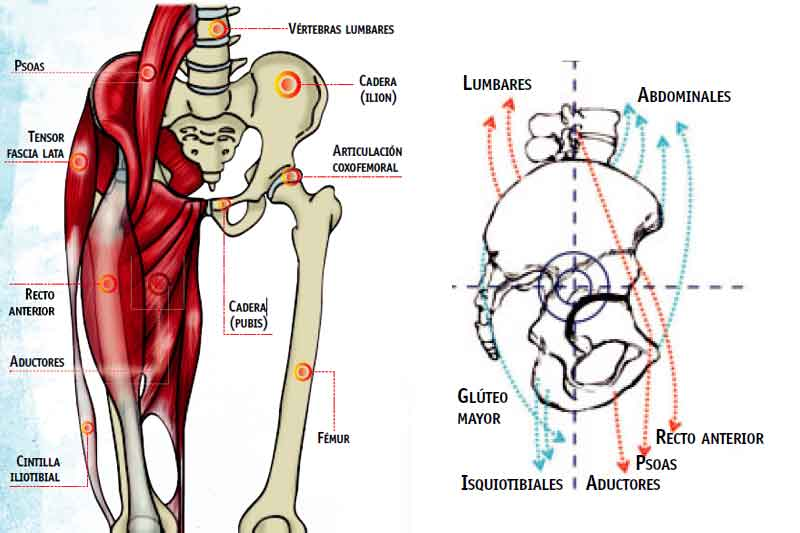 La cadera del deportista | Salud | Sportlife